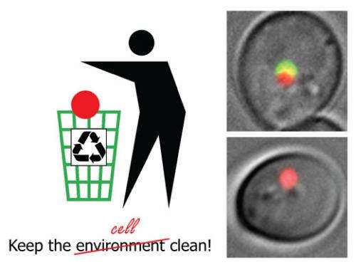 Not just clean but spotless – Researchers show how cells tidy up