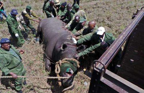 Officers from Kenya Wildlife Services (KWS) attend to a sedated black Rhinoceros at Nairobi national park on November 7, 2013 du