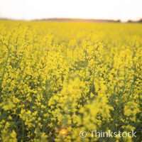 Oil seed can slash Co2 emissions in farming by 13%
