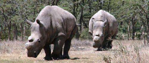 Ol Pejeta Conservancy extends breeding plan for the northern white rhinoceros
