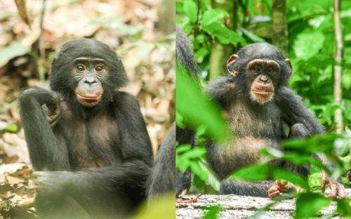 Onset of puberty in female bonobos precedes that of chimpanzees