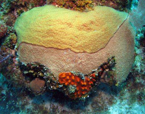 Overfishing removes predators that protect coral reefs