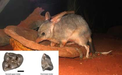 Palaeontologists unearth rare 15–million–year–old bilby