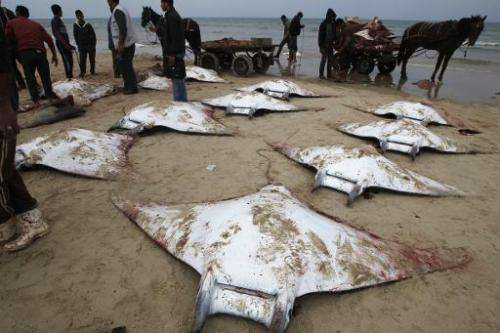 Palestinian fishermen collect several Manta Ray fish that were washed up on the beach in Gaza City on February 27, 2013