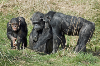 Parasites and the evolution of primate culture
