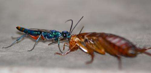 Parasitic wasp turns roaches into zombie slaves using neurotoxic cocktail