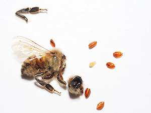 Parasitized honey bees discovered for first time in mid-Atlantic region