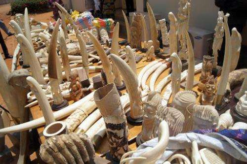 Part of a 700kg ivory haul seized on August 6, 2013 by the Togolese police