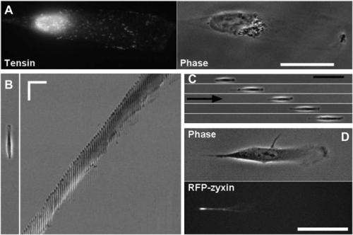 Persistent migration of cells on 1D strips