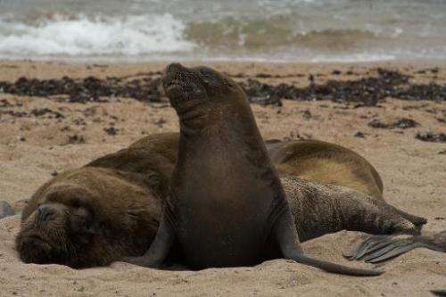 Peruvian authorities are investigating the deaths of some 500 sea lions that appeared on a northern beach