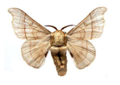 Physicists solve longstanding puzzle of how moths find distant mates