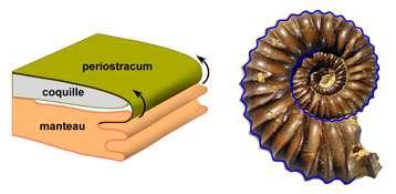 Physics determined ammonite shell shape