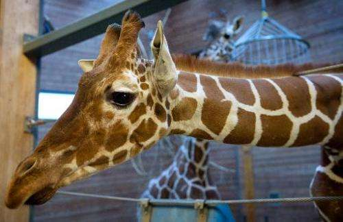 Picture taken on Febuary 7, 2014 shows a healthy young giraffe named Marius who was shot dead and autopsied in the presence of v