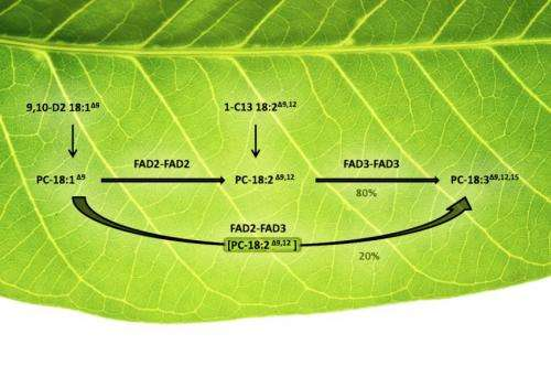 Plants' oil-desaturating enzymes pair up to channel metabolites