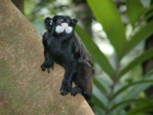 Primates indispensable for regeneration of tropical forests