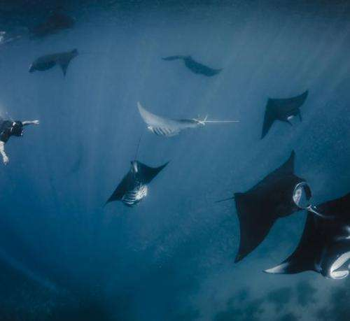 Protecting a Million Dollar Fish: Indonesia Declares Largest Manta Ray Sanctuary in the World to Secure Booming Tourism Industry
