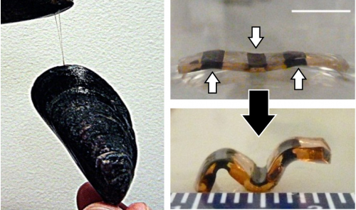 Pumping iron: A hydrogel actuator with mussel tone