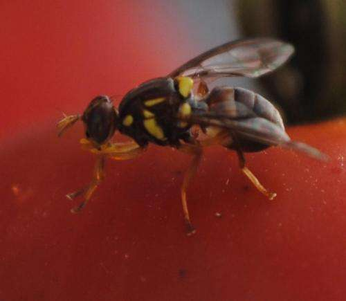 Queensland Fruit Fly on tomato
