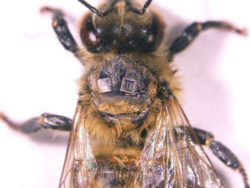 Radio frequency ID tags on honey bees reveal hive dynamics
