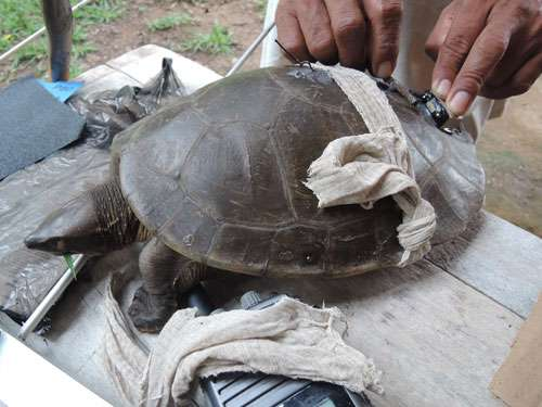 Rare turtle spotted in the Rio Grande