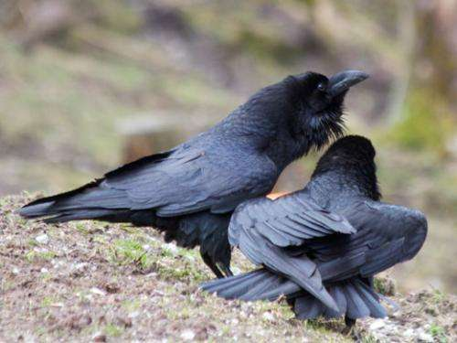 Ravens understand the relations among others