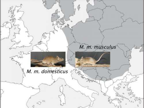 Regions in the genome cause infertility in some hybrids of house mouse subspecies