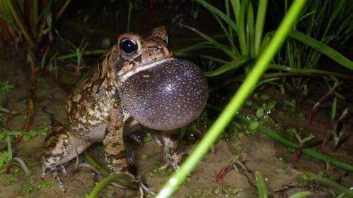 Roads negatively affect frogs and toads, study finds