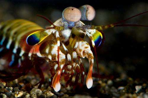 Study finds mantis shrimp process vision differently than other organisms (w/ video)
