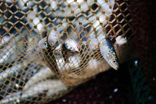 Sardines are seen trapped in a fishing net on September 24, 2013 in Quiberon, western France