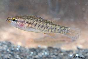 Saving our vulnerable south-west fish species