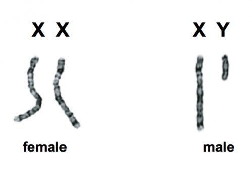 Sex, genes, the Y chromosome and the future of men