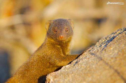 Mongoose sentinels respond flexibly to threats