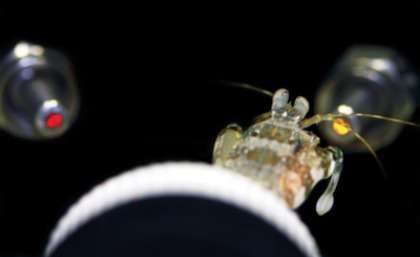 Shrimp gives insight into colour vision