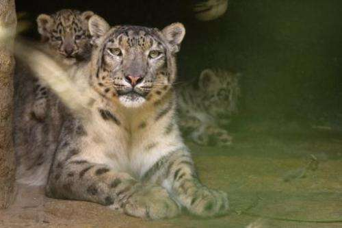 Snow leopards, like these seen at Basel Zoo in Switzerland, are often poached for their luxuriant spotted coats