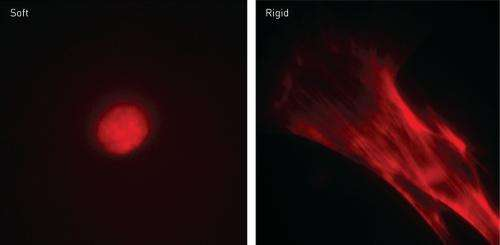 Soft substrates may promote the production of induced pluripotent stem cells