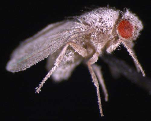 Space-raised flies show weakened immunity to fungus