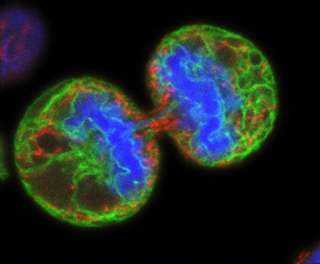 Split decision: Stem cell signal linked with cancer growth