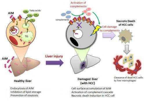 Stopping liver cancer in its tracks