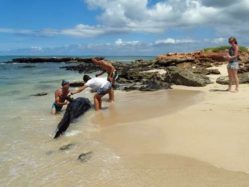 stranded pilot whale rescued in cape verde