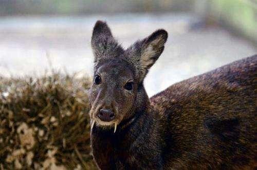 Strange, fanged deer persists in Afghanistan