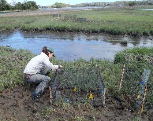 Studies affirm crabs killing Northeast saltmarshes