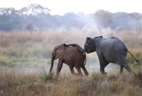 Study: 20,000 elephants poached in Africa in 2013