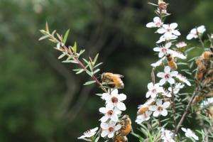 Study a first test of Australian honey's medicinal potential