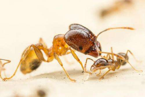 Study: Big-headed ants grow bigger when faced with fierce competitors