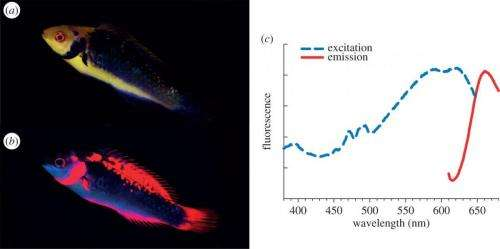 Study shows fairy wrasses perceive and respond to their own deep red fluorescent coloration