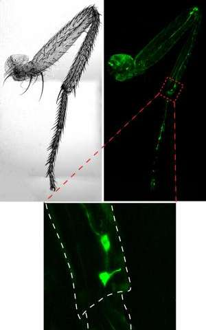 Stumbling fruit flies lead scientists to discover gene essential to sensing joint position