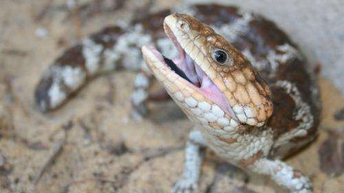 Suburban dugites and bobtails come under the microscope