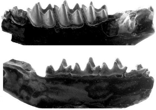 Sucker-footed fossils broaden the bat map