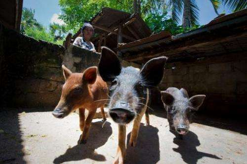 Sumbanese grandmother Elisabeth Hadi Rendi attends to her pigs, the manure from which is fed into a mini bio-gas system generati