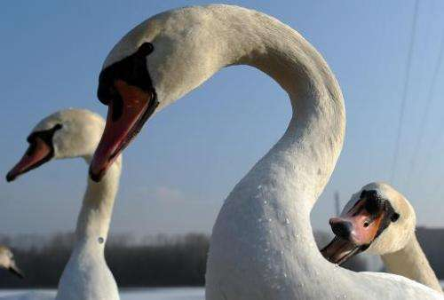 Swans are pictured on a lake in Slovakia on December 29, 2010
